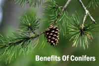 Benefits Of Conifers
