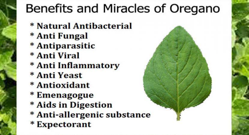 Benefits and miracles of Oregano