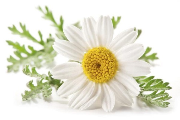 Chamomile remedy
