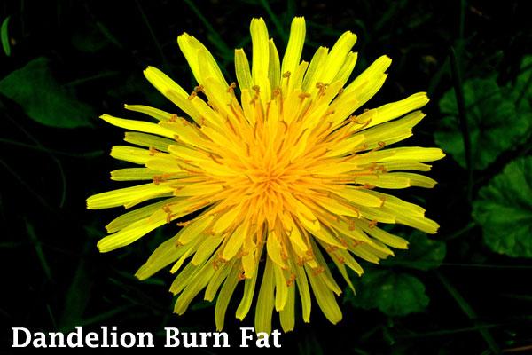 Dandelion burn fat