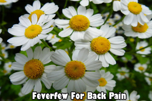Feverfew for back pain