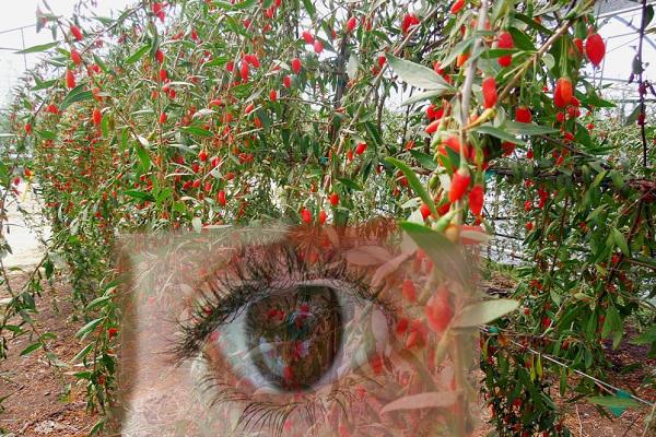 Goji berries for healthy eyes