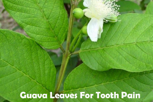 Guava Leaves for tooth pain