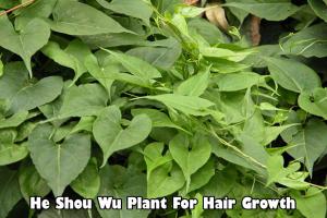 He Shou Wu herb