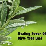 The Amazing Healing Power Of The Olive Tree Leaf Extract