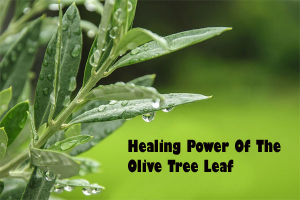 Healing Power Of The Olive Tree Leaf