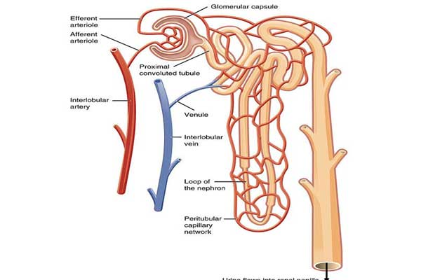 Kidney function