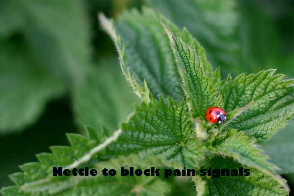 Nettle to block pain signal