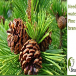 Need A Water Filter? Pine Tree Branches