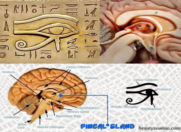 PINEAL GLAND AND FLUORIDE