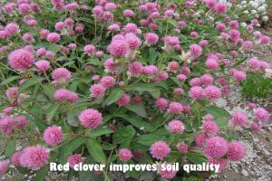 Red clover improves soil quality