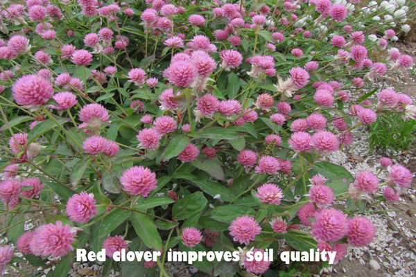 Red clover improves soil quality