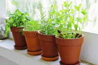 hot plant herbs
