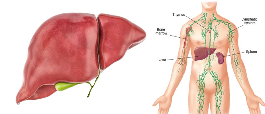liver and lymphatic system