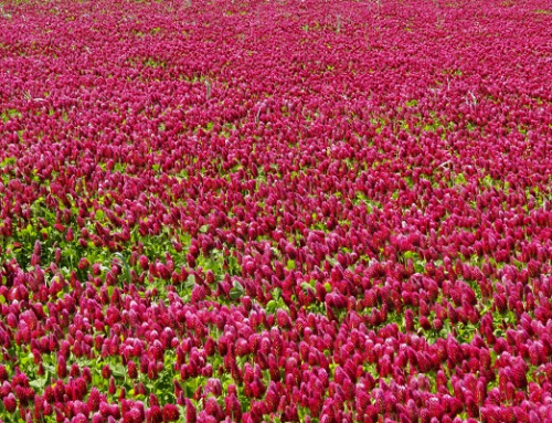 Red Clover a Plant Of Unlimited Talents