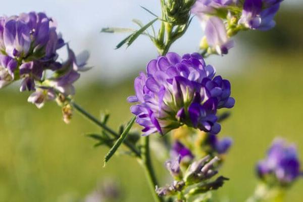 Alfalfa plant reduce cholesterol