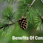 Facts About The Benefits Of Conifers
