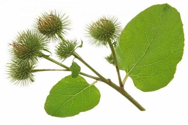 Burdock herb for hair