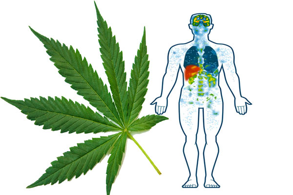 Cannabis and the Endocannabinoid System
