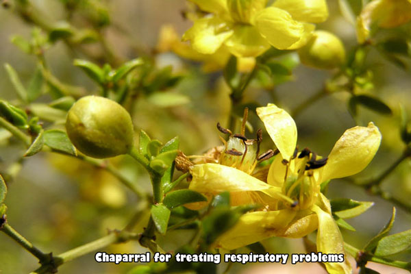 Chaparral against respiratory problems