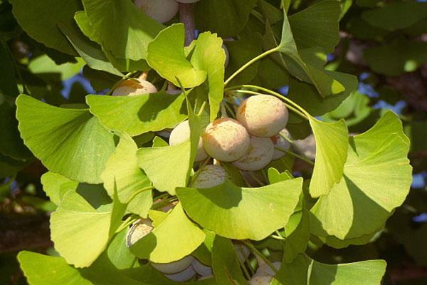 Ginko Biloba herb