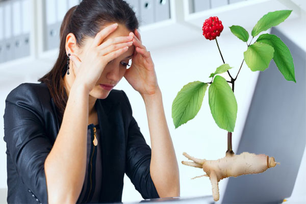 Ginseng Panax for stress reduce