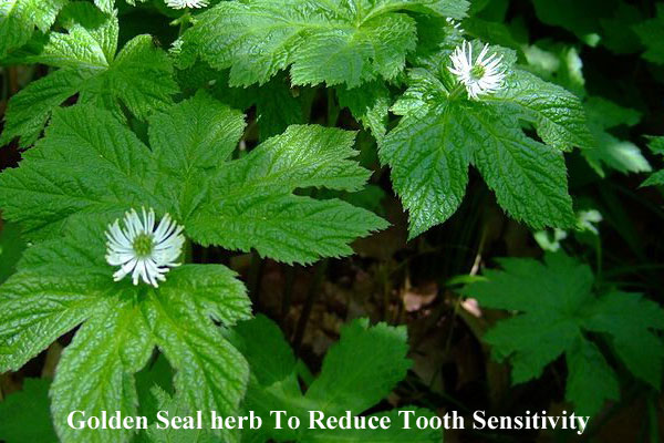 Golden Seal Herb Reduces Tooth Sensitivity