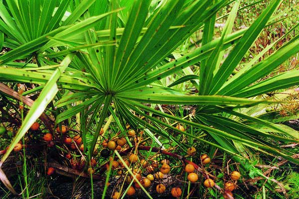 Natural herb Saw Palmetto