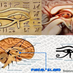 The Relation Between Fluoride And The Pineal Gland