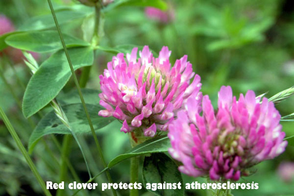 Red-clover-protects-against