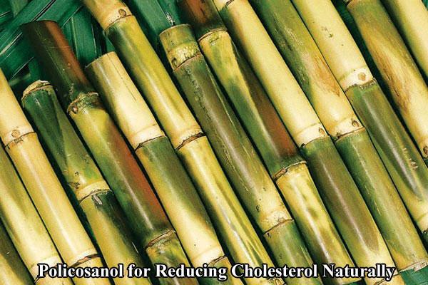 Policosanol Reducing Cholesterol in sugar canes