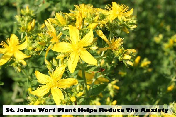 St. Johns wort to reduce the anxiety