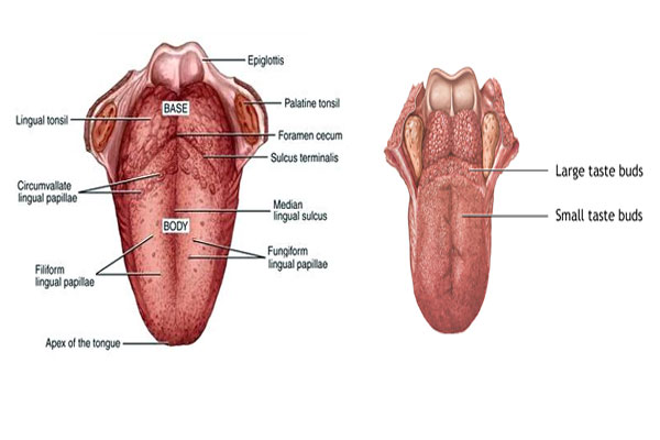 The surface of the tongue