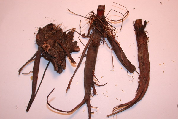 Yellow Dock Root