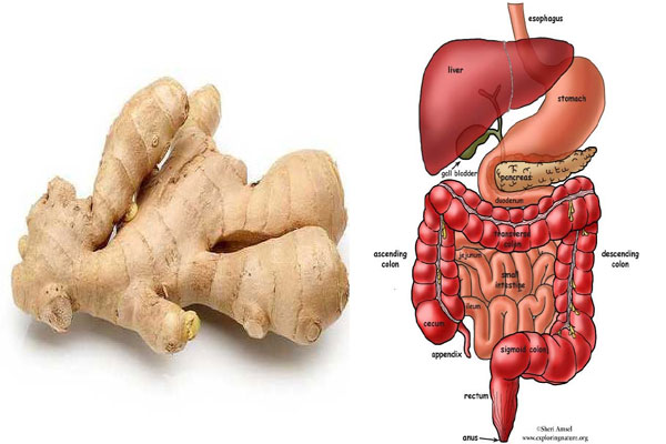 Digestive system with ginger