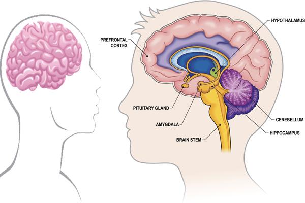 women brains